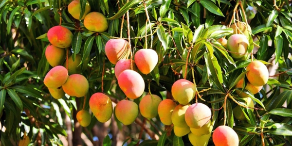 2. Mangoes